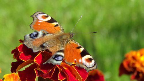 marigold flower macro