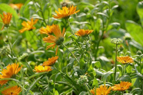 marigoldas,kalendra,oranžinė
