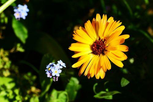marigold calendula pot marigold
