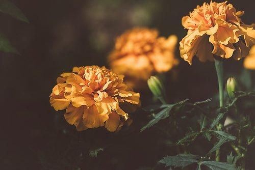 marigold  orange  orange flower