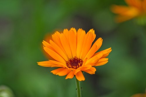marigold  calendula officinalis  blossom
