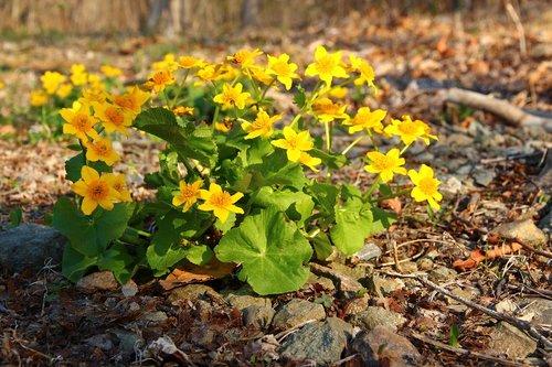 marigold  yellow flowers  spring flowers