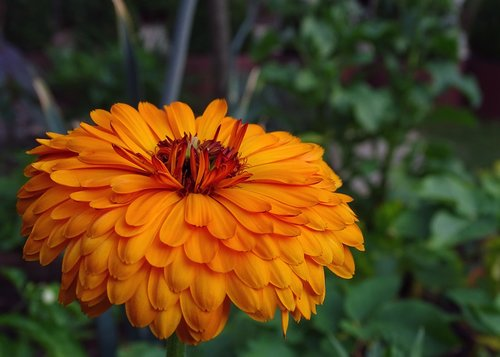 medetkų, Medetkų, kompozitai, oranžinė, žiedas, žydi, valgomieji gėlės, vaistinių augalų, Asteraceae