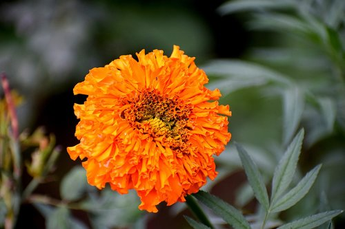 marigold  flower  bloom