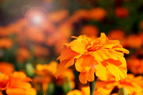 marigold  flower  nature