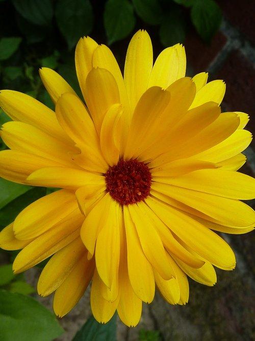 marigold  yellow  blossoms