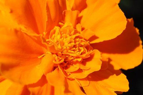 marigold  flower  orange