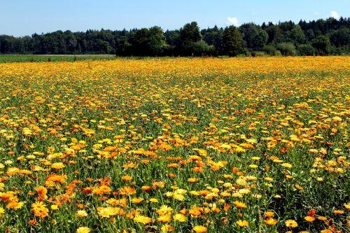 marigold field nature