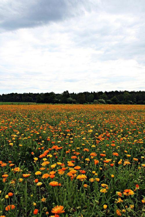 marigold marigold field nature