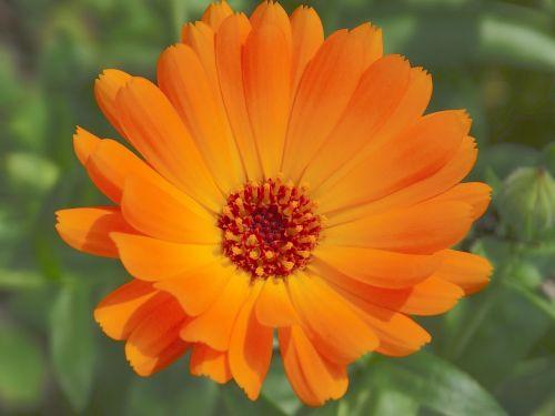 marigoldas,calendula officinalis,sodininkystė,gėlės,žiedas,žydėti,oranžinė,gamta,flora