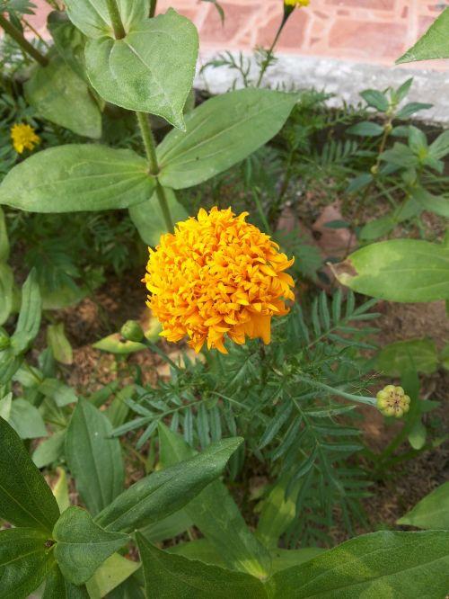 marigoldas,gėlės,gamta