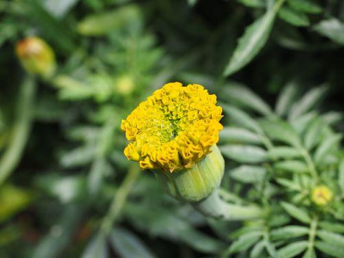 marigold bud marigolds