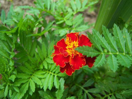 marigold flower balcony plant