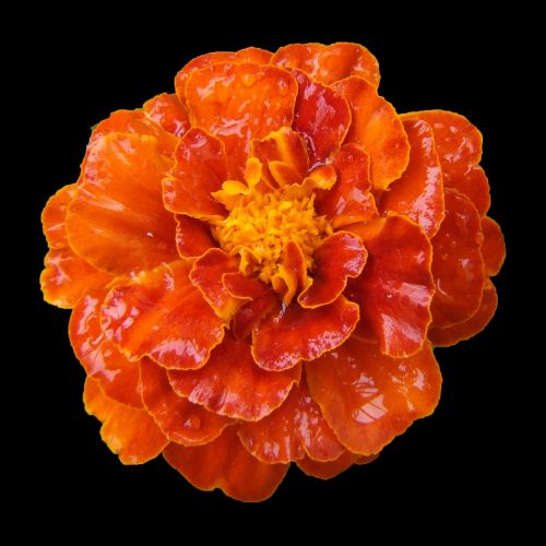 marigold balcony flower orange