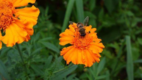 marigold bee insect
