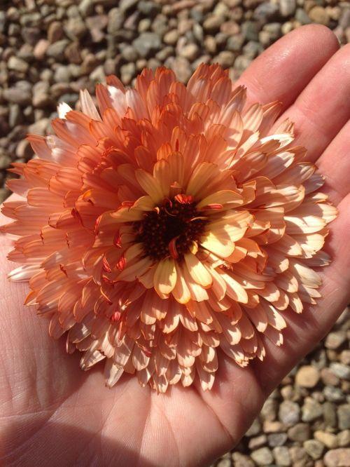 marigold flower hand