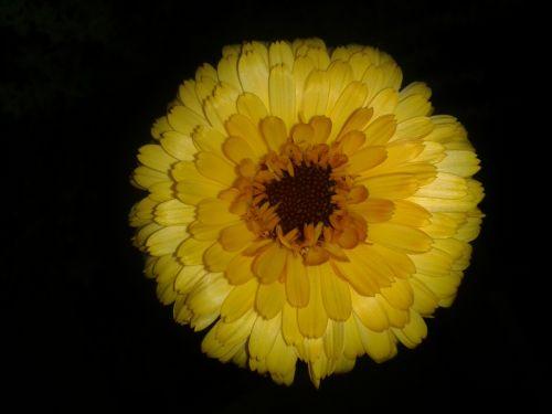 Marigold Flower In The Dark