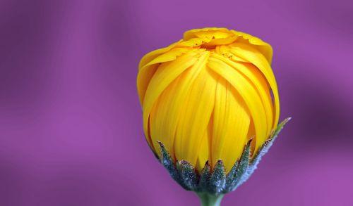 Marigold Flower Purple Background