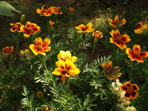 marigold scattered tagetes patula nana flower