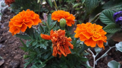 marigolds orange plant