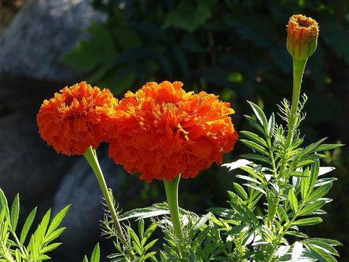 marigolds  flower  orange