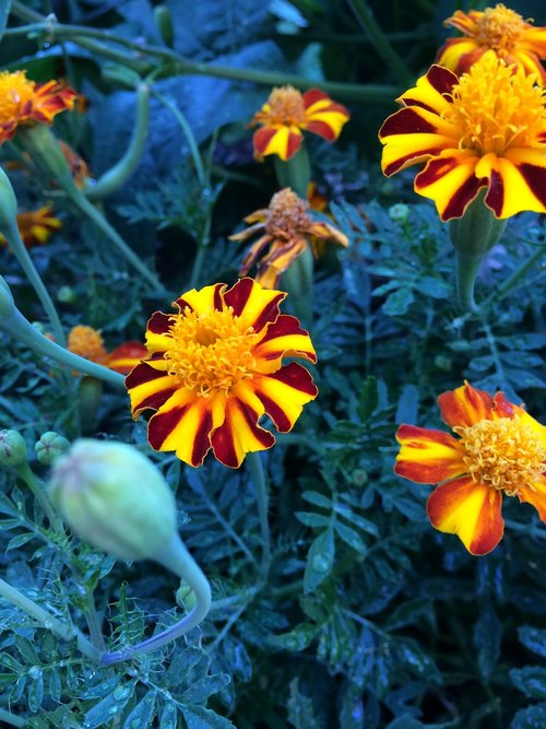 marigolds  garden  flowers