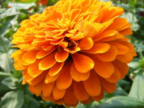marigolds flowers orange