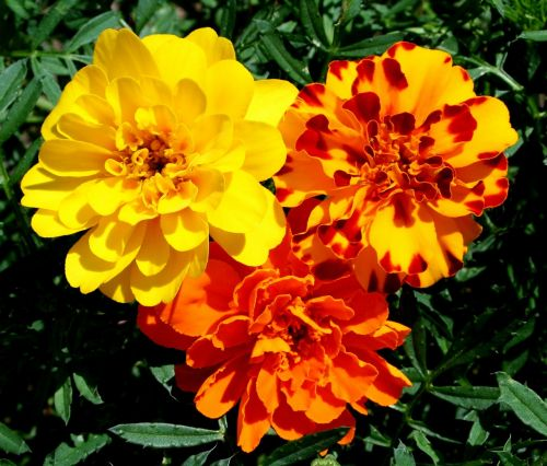 marigolds flowers yellow
