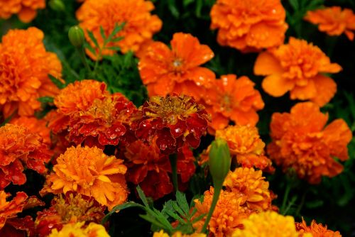 marigolds flowers bouquet