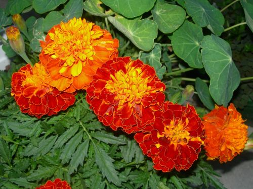 marigolds orange red flowers nasturtium leaves