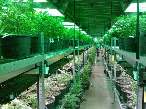 marijuana colorado marijuana grow marijuana dispensary