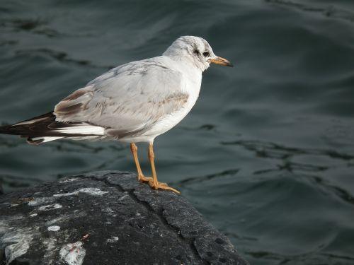 marine bird seagull