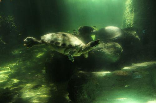 marine turtles is