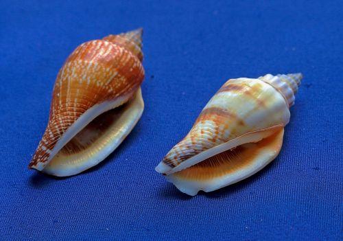 marine conches shells molluscum
