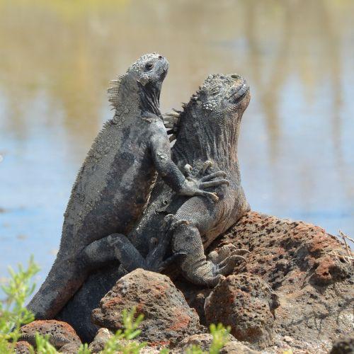 marine iguana galapagos islands galapagos