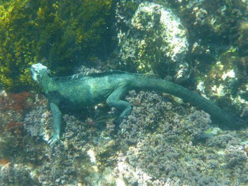 marine iguana galapagos diving