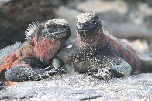 marine iguana lizard galapagos