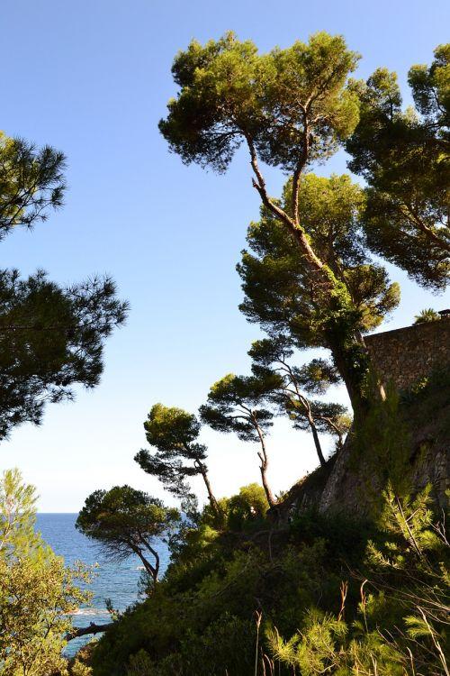 maritime pine pine sea