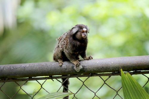 marmoset white tufts animal