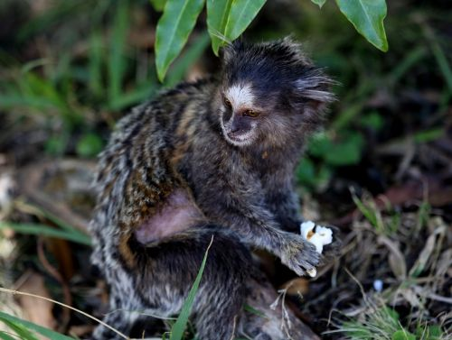 marmoset white tufts forest primate