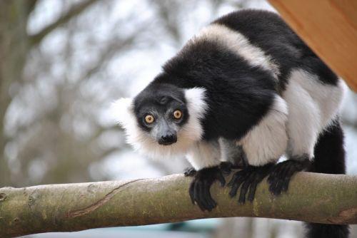 marmosets callithrix jacchus marmoset