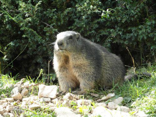 marmot alpine alpine marmot