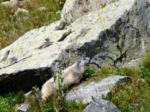 marmot rocks rodents