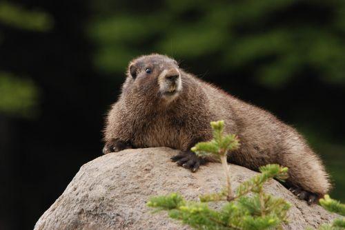 marmot hoary marmot rock