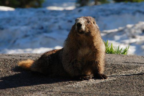 marmot hoary marmot rodent