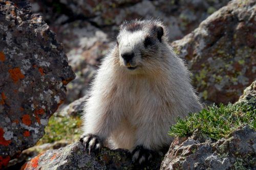 marmot brower's marmot alaska
