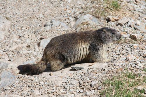 marmot alps alpine marmot