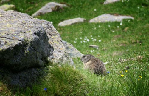 marmot animals rocks