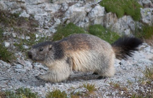 marmot alpine furry