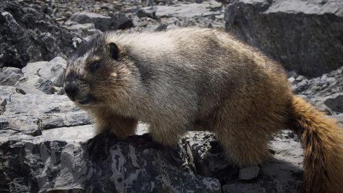 marmot canada animal